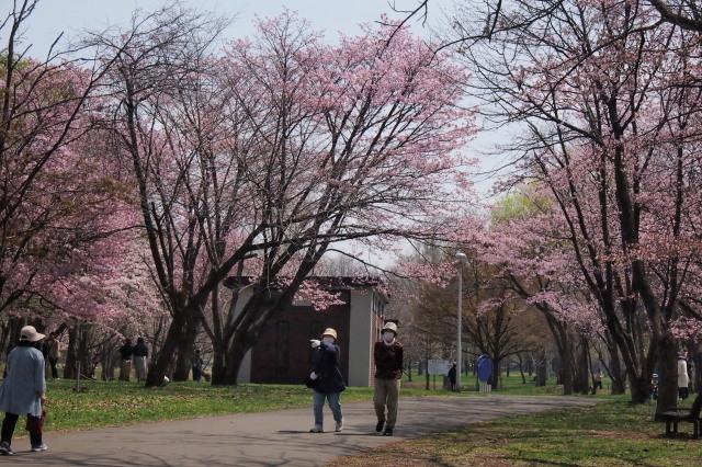 札幌の公園の桜 と 地元のカワセミ_c0360399_21305758.jpg