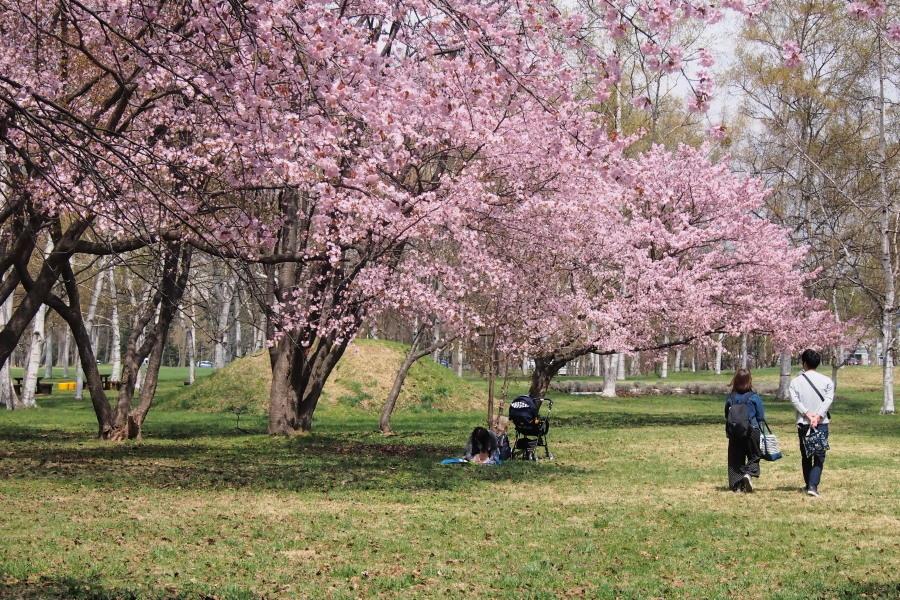 札幌の公園の桜 と 地元のカワセミ_c0360399_21312737.jpg