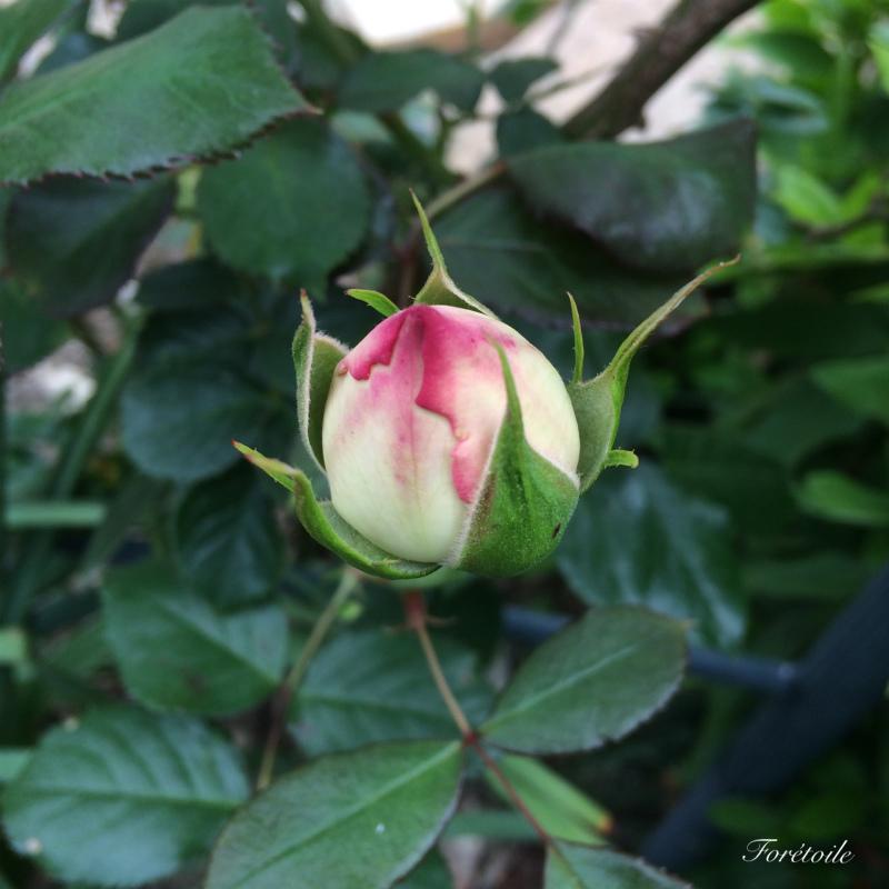 Rose_f0377243_16091972.jpg