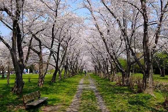 桜に挑戦(2)_e0220159_12592874.jpg