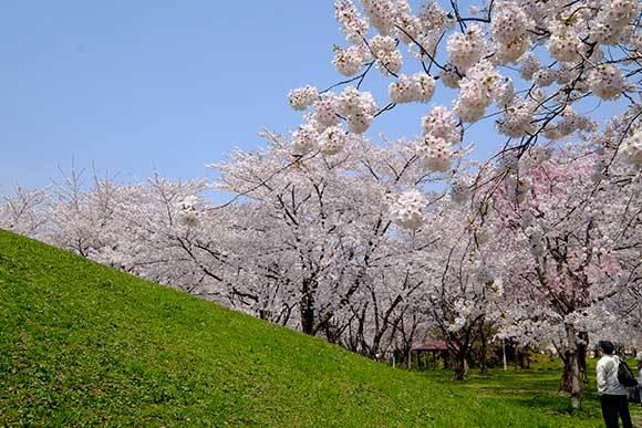 桜に挑戦(2)_e0220159_12594185.jpg