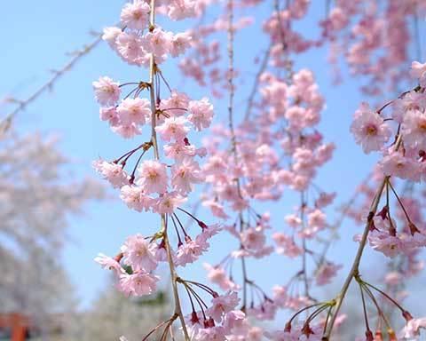 桜に挑戦(2)_e0220159_12595051.jpg