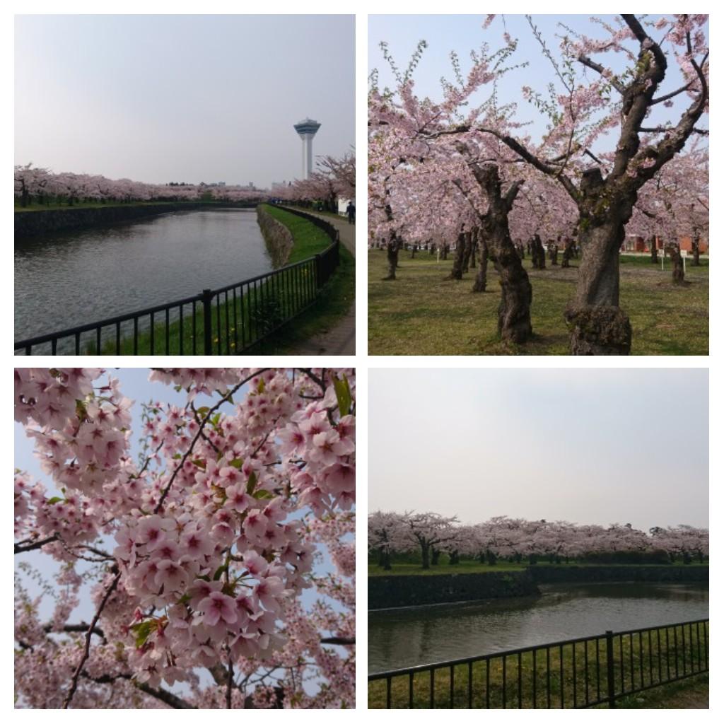 函館五稜郭公園のさくら_b0106766_21291214.jpg