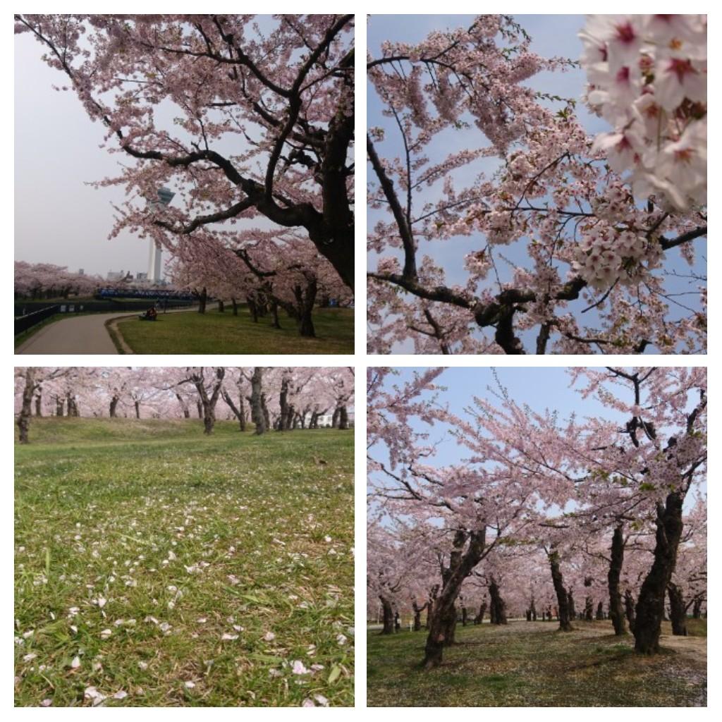 函館五稜郭公園のさくら_b0106766_21291276.jpg