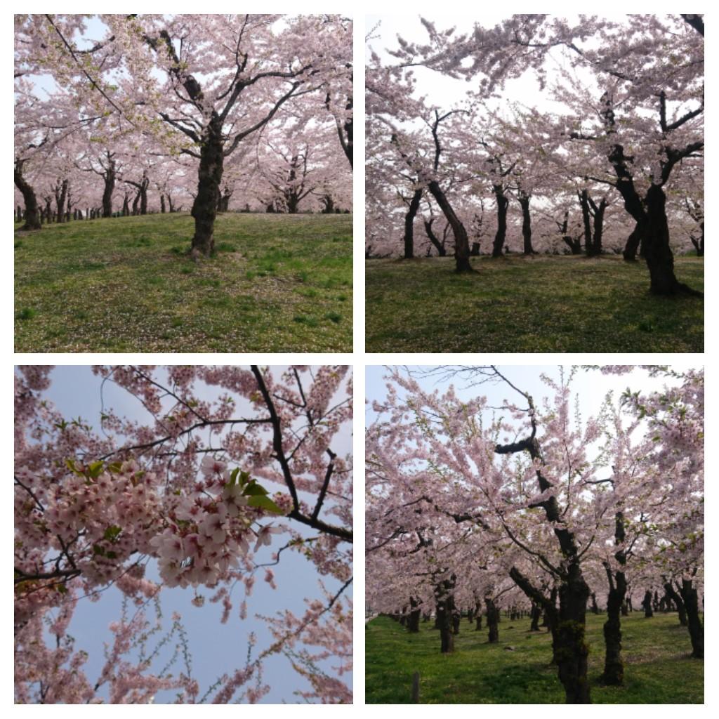 函館五稜郭公園のさくら_b0106766_21291296.jpg