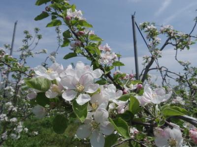 リンゴの花満開_e0019167_19385913.jpg