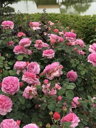 大隅半島薔薇ツアーレポート_b0137969_06243470.jpg