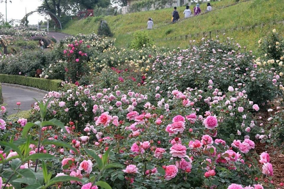 大隅半島薔薇ツアーレポート_b0137969_06510995.jpg