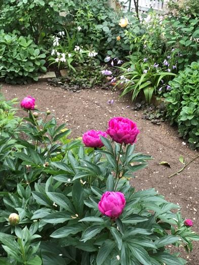 芍薬が初めて咲きました。_b0214473_18404478.jpg