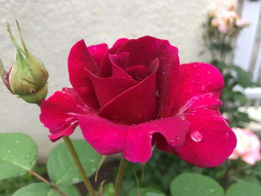芍薬が初めて咲きました。_b0214473_1841211.jpg