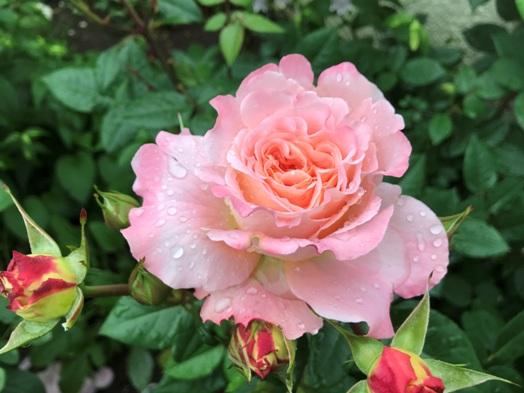 芍薬が初めて咲きました。_b0214473_1841284.jpg