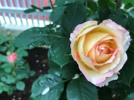 芍薬が初めて咲きました。_b0214473_18415642.jpg
