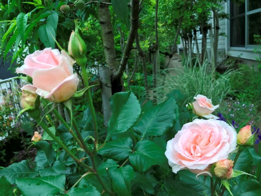 芍薬が初めて咲きました。_b0214473_1842893.jpg