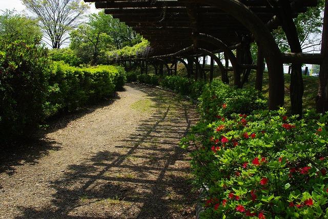 松任グリーンパークのフジが咲く_d0043136_1645452.jpg