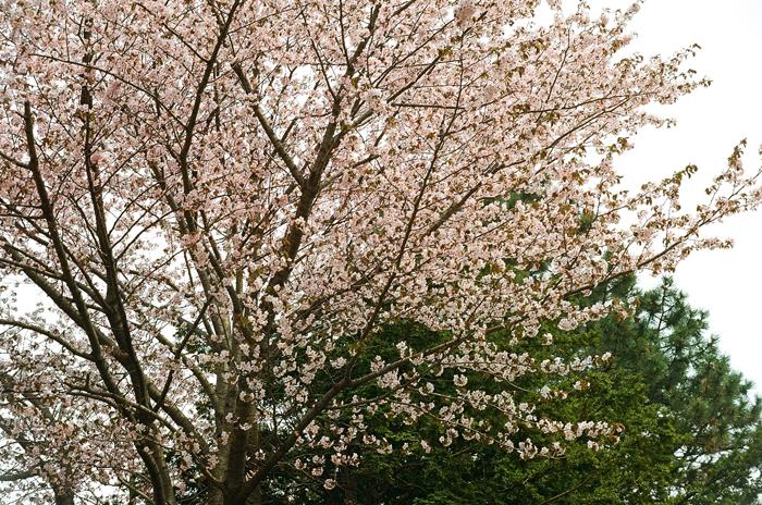 早咲きの桜を見る人と見る家族地蔵_c0182775_1611416.jpg