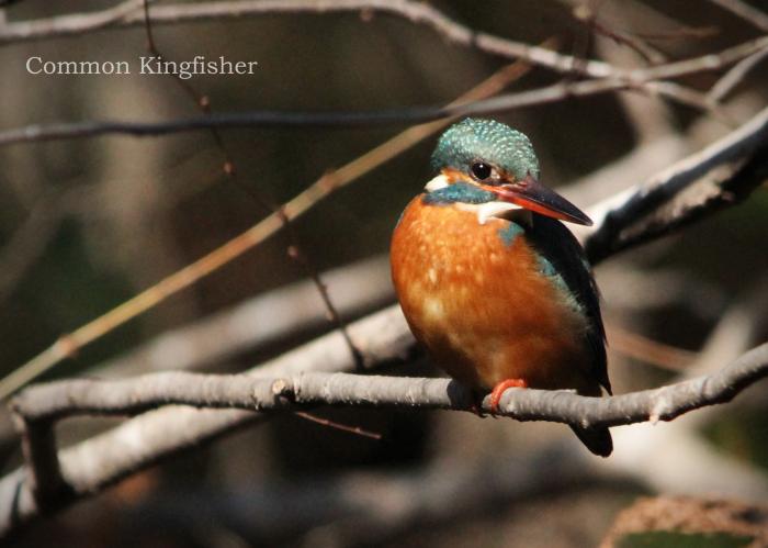 カワセミ:Common kingfisher_b0249597_12032291.jpg