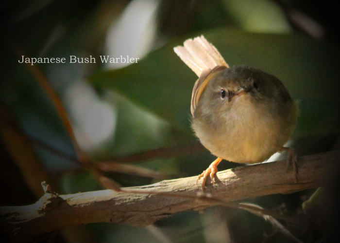 ウグイス:Japanese Bush Warbler_b0249597_12060730.jpg