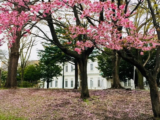 """2018年5月 『北大キャンパス、一斉に咲く花たち』 May 2018 \""""Full Blossoms in Hokkaido University\""""_c0219616_16490067.jpg"""