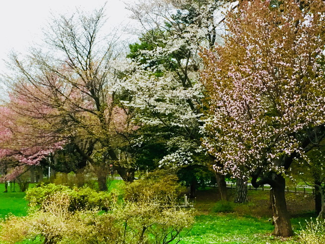 """2018年5月 『北大キャンパス、一斉に咲く花たち』 May 2018 \""""Full Blossoms in Hokkaido University\""""_c0219616_16490136.jpg"""