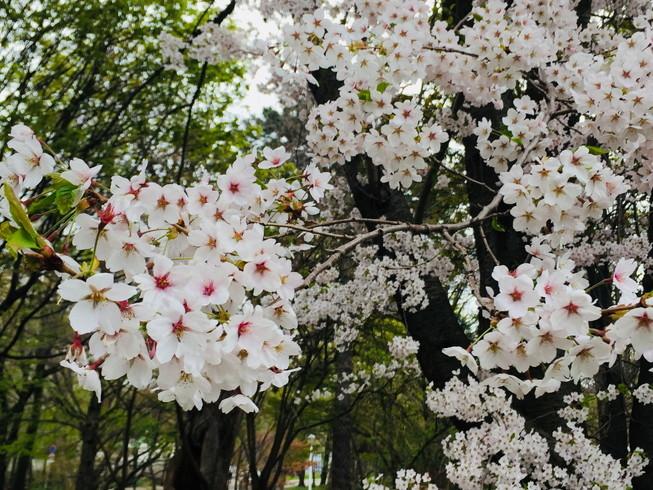 """2018年5月 『北大キャンパス、一斉に咲く花たち』 May 2018 \""""Full Blossoms in Hokkaido University\""""_c0219616_16490157.jpg"""