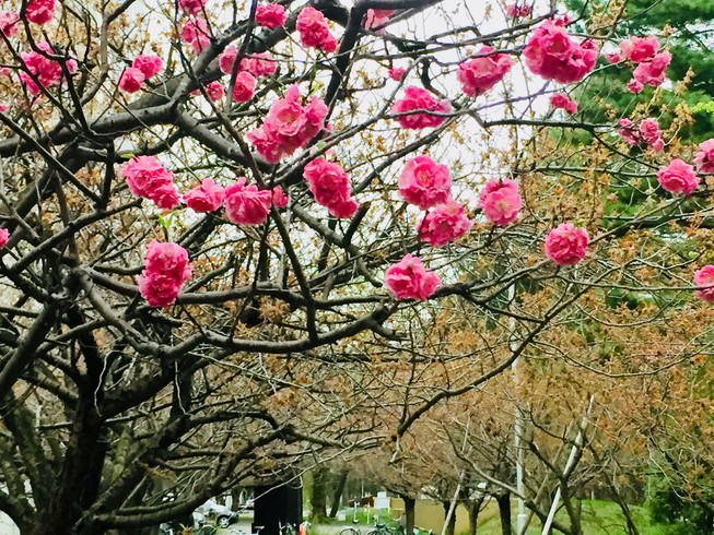 """2018年5月 『北大キャンパス、一斉に咲く花たち』 May 2018 \""""Full Blossoms in Hokkaido University\""""_c0219616_16490175.jpg"""