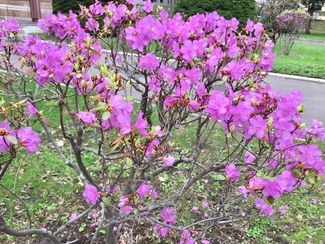 """2018年5月 『北大キャンパス、一斉に咲く花たち』 May 2018 \""""Full Blossoms in Hokkaido University\""""_c0219616_16490193.jpg"""