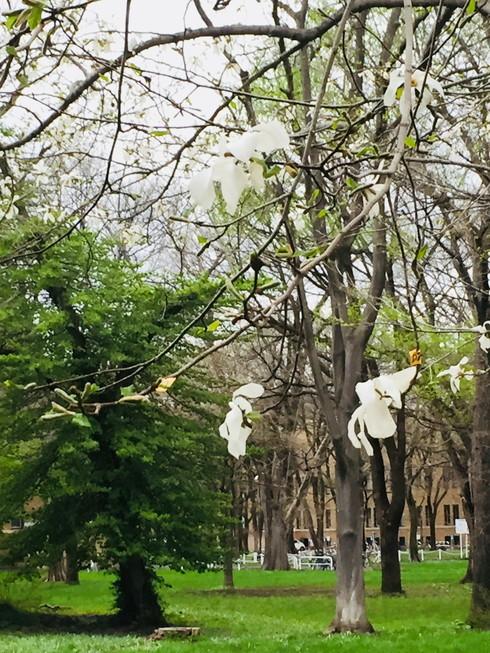 """2018年5月 『北大キャンパス、一斉に咲く花たち』 May 2018 \""""Full Blossoms in Hokkaido University\""""_c0219616_16543063.jpg"""