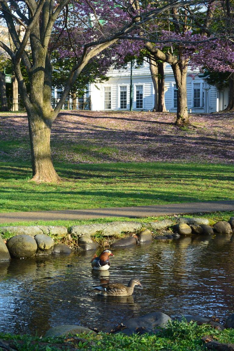 """2018年5月 『北大キャンパス、春のオシドリ』 May 2018 \""""Mandalin Duck in Hokkaido Univeristy Campus\""""_c0219616_17073013.jpg"""