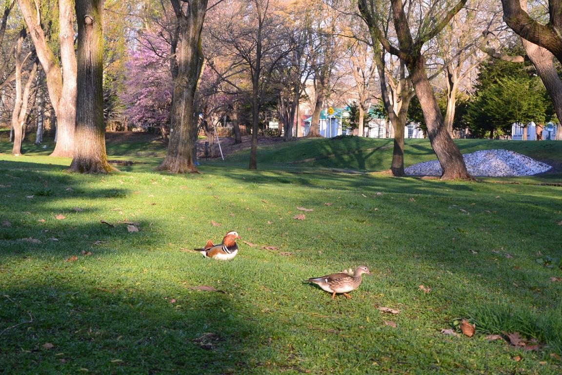 """2018年5月 『北大キャンパス、春のオシドリ』 May 2018 \""""Mandalin Duck in Hokkaido Univeristy Campus\""""_c0219616_17073159.jpg"""