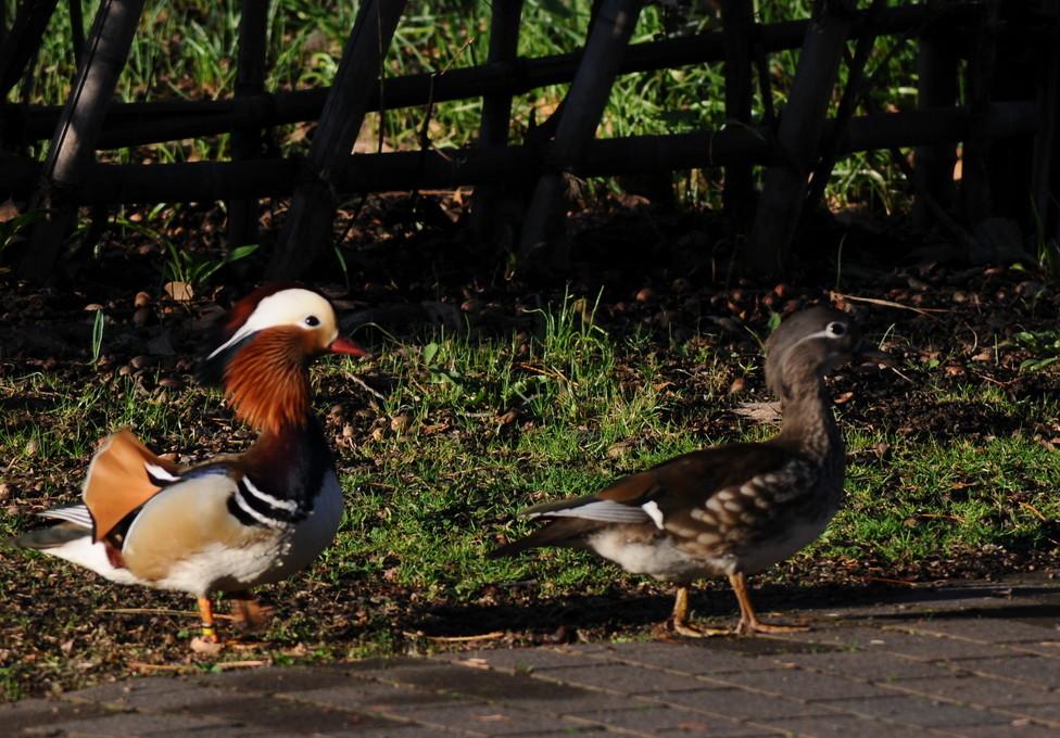 """2018年5月 『北大キャンパス、春のオシドリ』 May 2018 \""""Mandalin Duck in Hokkaido Univeristy Campus\""""_c0219616_17073198.jpg"""