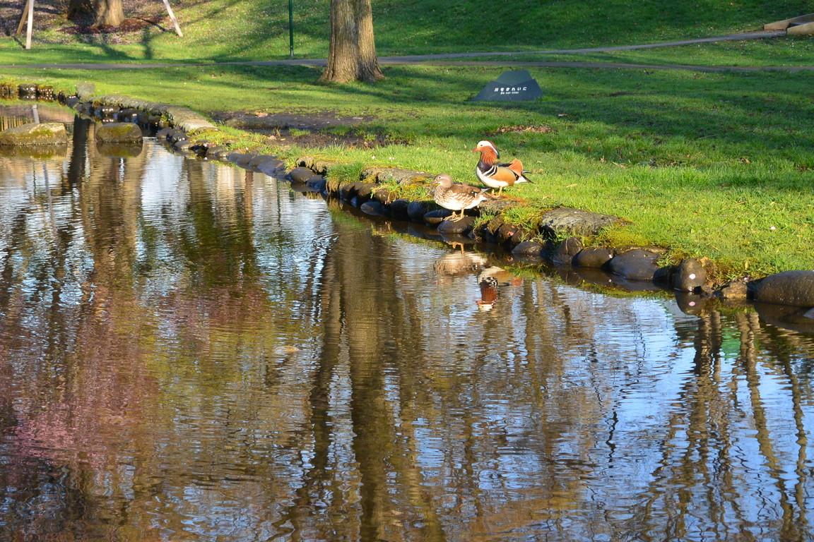 """2018年5月 『北大キャンパス、春のオシドリ』 May 2018 \""""Mandalin Duck in Hokkaido Univeristy Campus\""""_c0219616_17073231.jpg"""