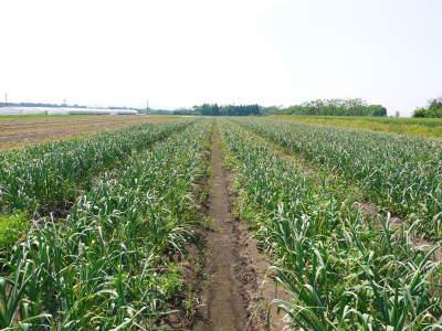 『無農薬栽培にんにく』 まもなく芽カギ作業です!_a0254656_17253610.jpg