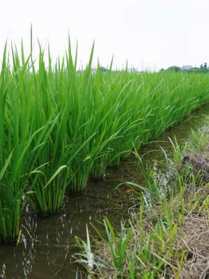 『無農薬栽培にんにく』 まもなく芽カギ作業です!_a0254656_17493765.jpg