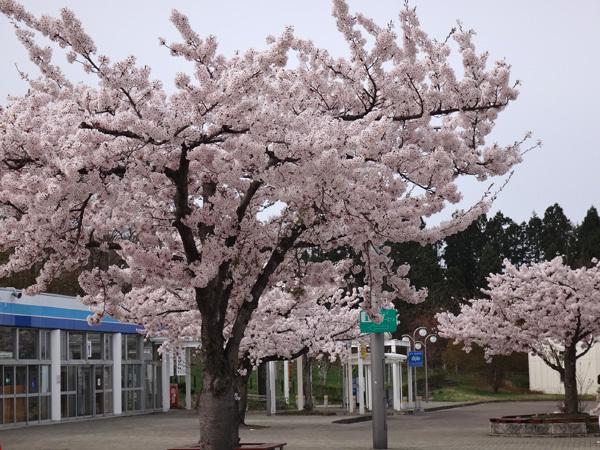 今年の桜ドライブは男鹿半島へ~~GAOも良かった~♪_a0136293_16374410.jpg