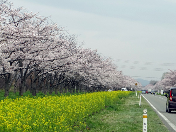 今年の桜ドライブは男鹿半島へ~~GAOも良かった~♪_a0136293_17043551.jpg