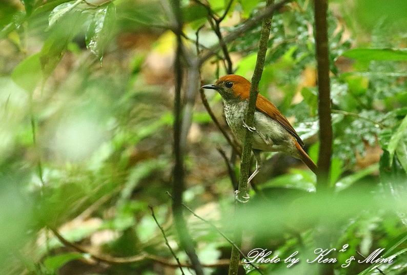天然記念物 固有種の「アカヒゲ」さん~Σ^) 初見♪初撮り♪ by kenken_e0218518_14321236.jpg