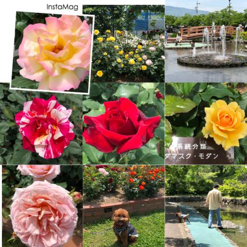 神戸バラ公園へチョコ散歩☆_e0159185_18271823.jpeg