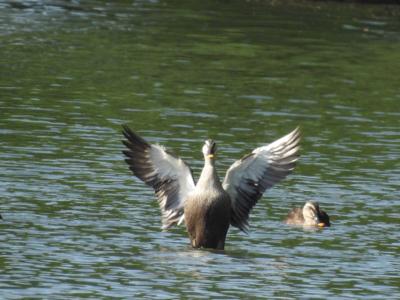 4月後半、波志江沼の鳥さん。_d0169692_08542555.jpg