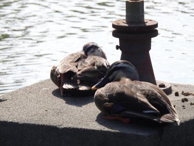 4月後半、波志江沼の鳥さん。_d0169692_08542619.jpg