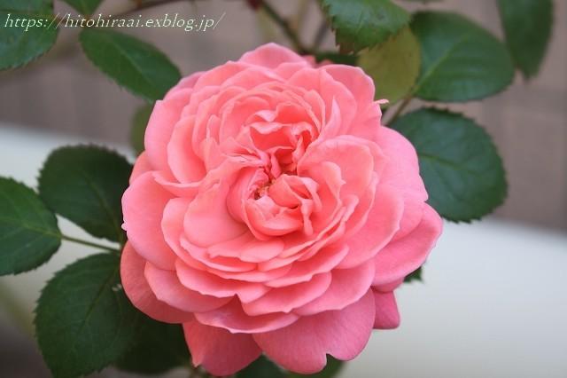 初夏の花を使ったアレンジメントと初夏のインテリア_f0374092_00520130.jpg