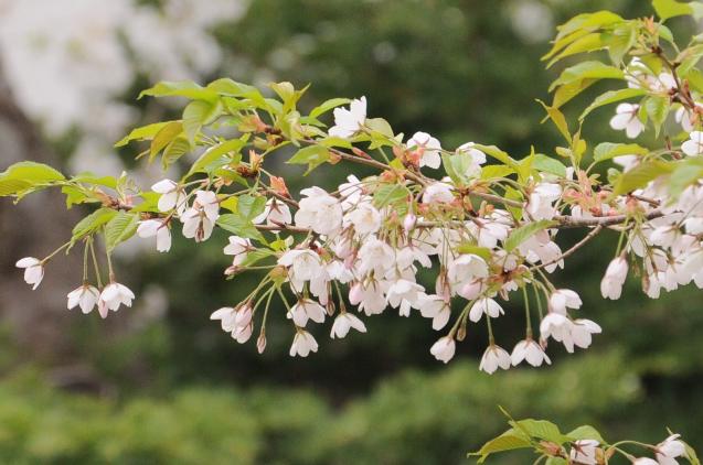 桜満開のGWでした!!_c0125899_16485347.jpg