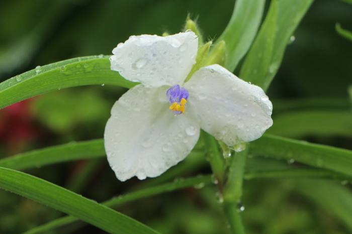 5月の庭で咲く 花_d0150720_10373616.jpg