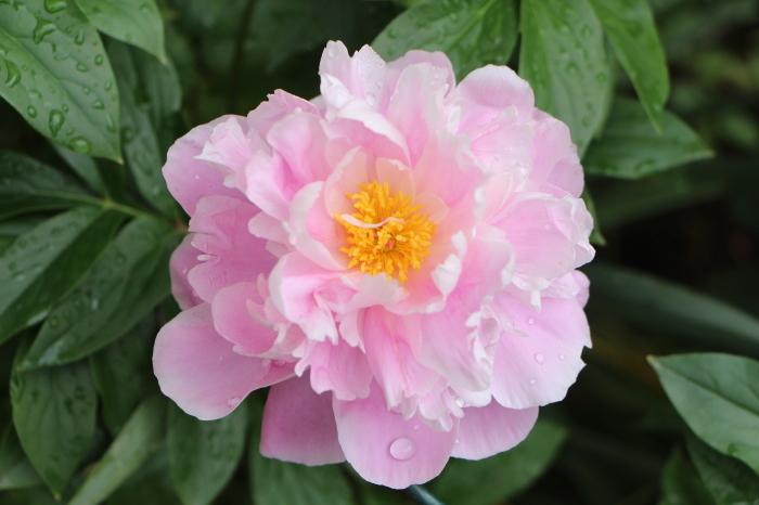 5月の庭で咲く 花_d0150720_10382456.jpg