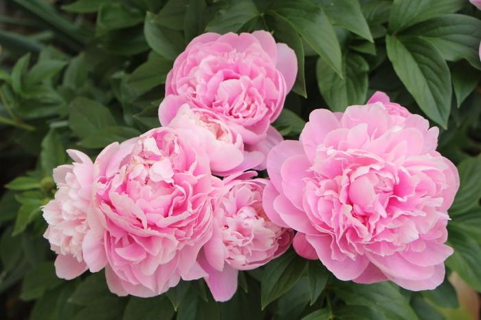 5月の庭で咲く 花_d0150720_10384510.jpg