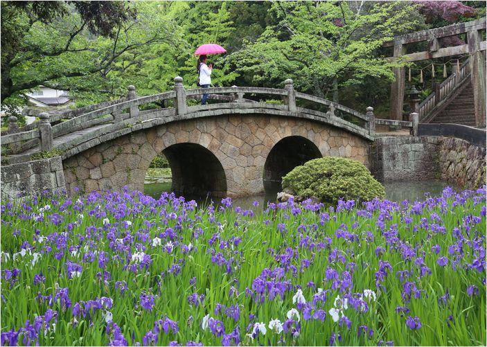 菅原神社の眼鏡橋とカキツバタ_a0256349_16152573.jpg