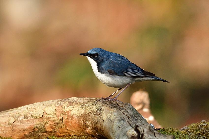 コルリ(Siberian blue robin)/2018.05_b0148352_16304698.jpg
