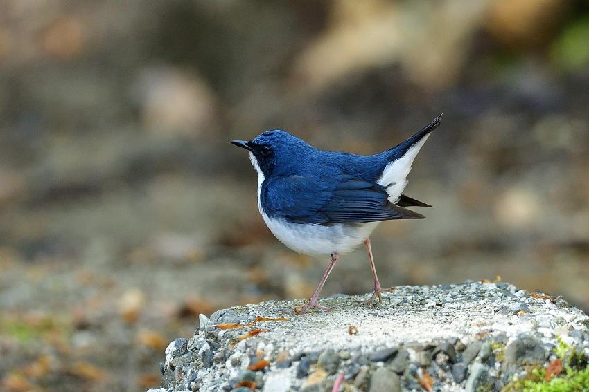 コルリ(Siberian blue robin)/2018.05_b0148352_16305311.jpg