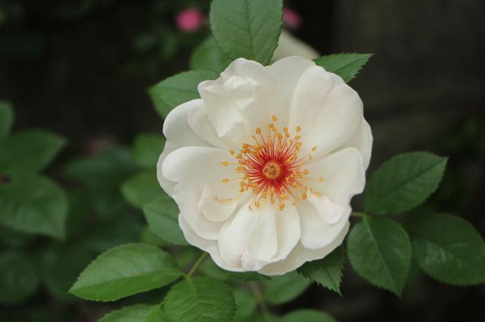 庭のバラ_d0150720_06272881.jpg