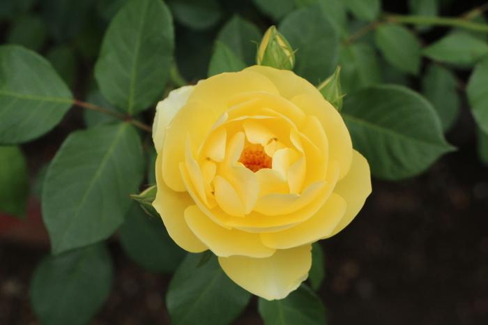 庭のバラ_d0150720_06335440.jpg