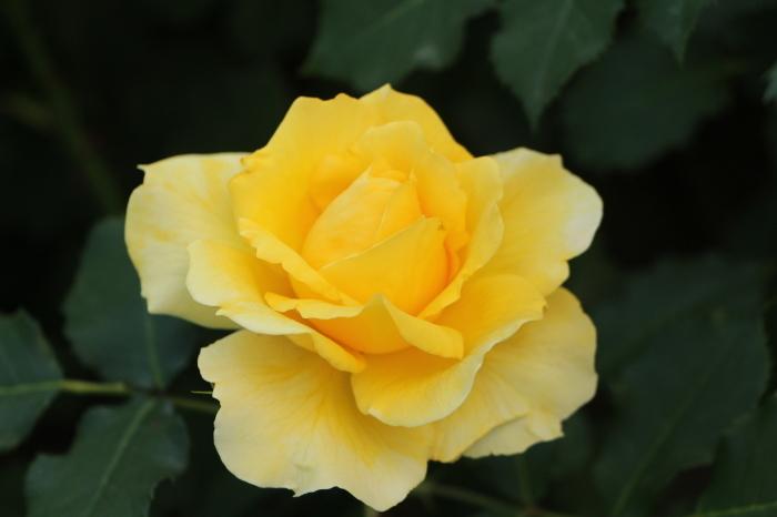 庭のバラ_d0150720_06370637.jpg